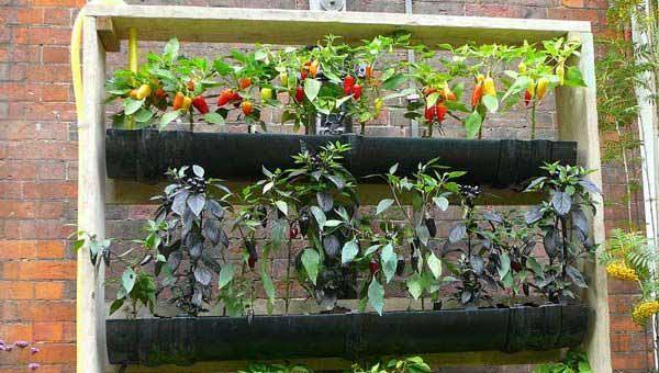 Овощи на балконе своими руками 561